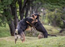 pelea de perros organizadas