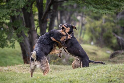 Peleas de perros organizadas, maltrato en el ring