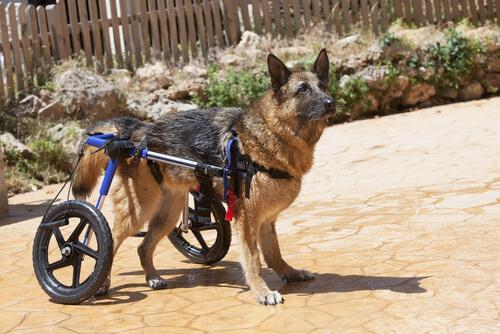 Debilidad del tren inferior en perros