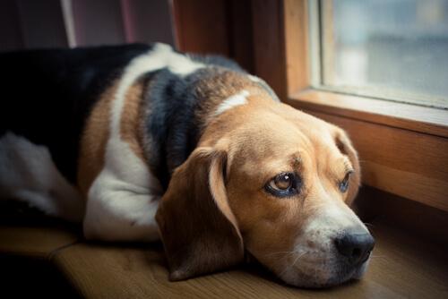 Cómo un perro expresa el dolor