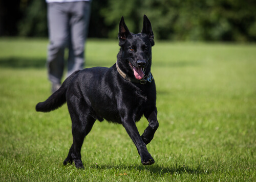 perros negros