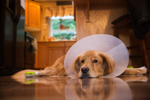 Cuidados postoperatorios de un perro