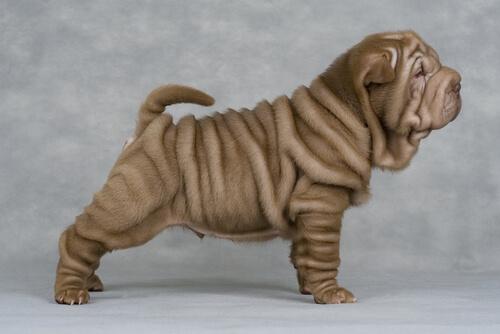 ¿Por qué los perros shar-pei tienen tantas arrugas?