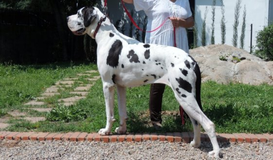 Dogo alemán de perfil