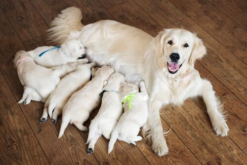Ayudar a una perra a parir