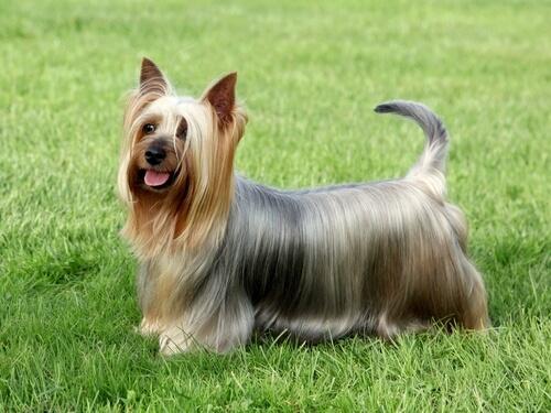 caracter del Australian Silky Terrier
