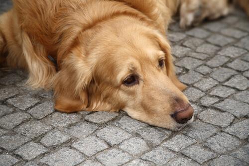 depresión en los perros