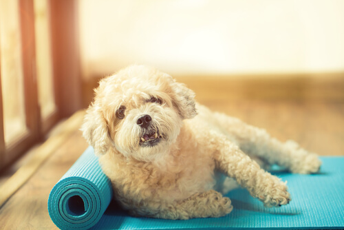 A dog on a yoga mat.