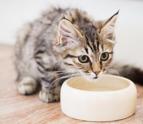 Descubre por qué tu gato mueve el plato con agua antes de tomar