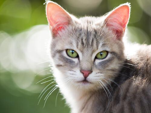 Los gatos pueden padecer hipertiroidismo