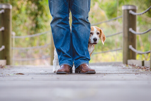 Beagle with noise phobia standing on a bridge behind a man's legs