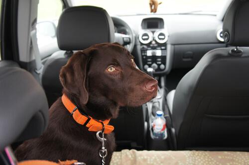 perro en coche con cinturon de seguridad