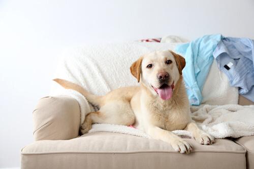 ¿Es bueno dejar subir al perro al sofá?