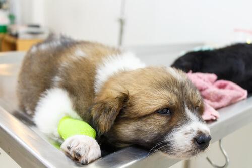 Los vómitos en los perros pueden estar provocados por numerosas causas