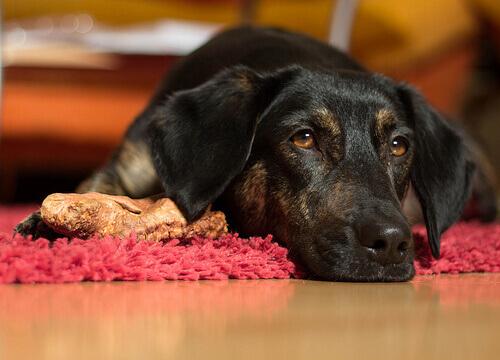 Los perros que tienen vómitos deben ser tratados de inmediato