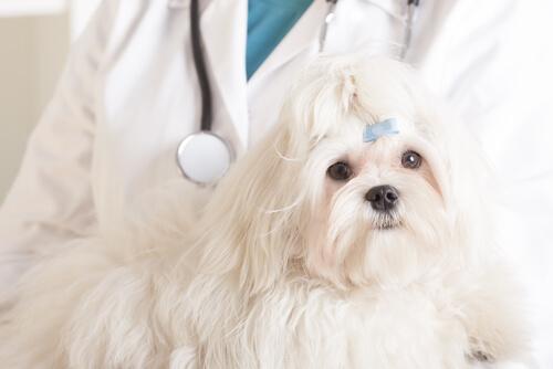 Quimioterapia para perros