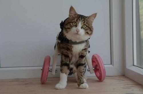 Rexie, el gatito que usa silla de ruedas