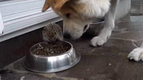 El erizo que planta cara al perro