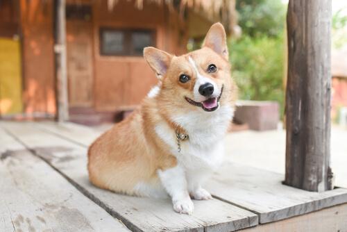 Conoce el estado de ánimo de tu perro según su postura
