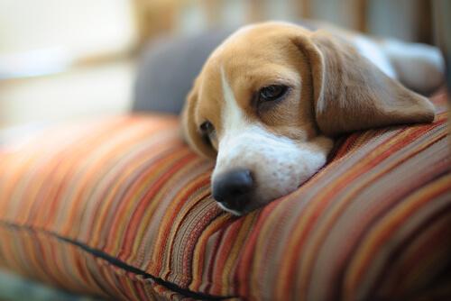 El sueño en los perros