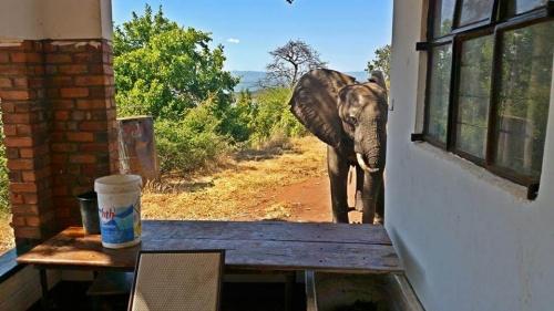 Un elefante tiroteado por cazadores acude a una casa de humanos para pedir ayuda