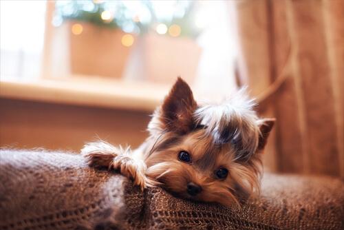 ¿Puede tener una perra un embarazo psicológico?