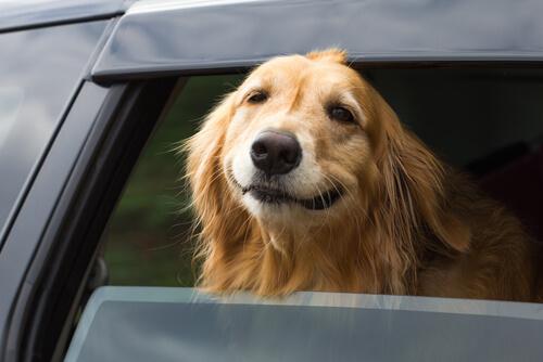 Evita que tu perro se maree en el coche