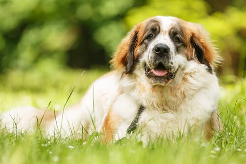 hematomas en los perros