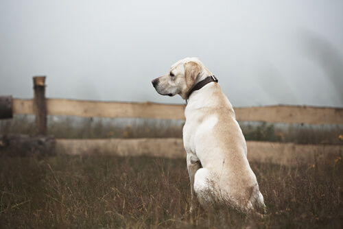White Labrador sitting in a field