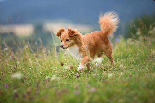movimientos de cola de perro chihuahua