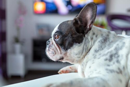 Conoce a un perro aficionado a las películas de terror
