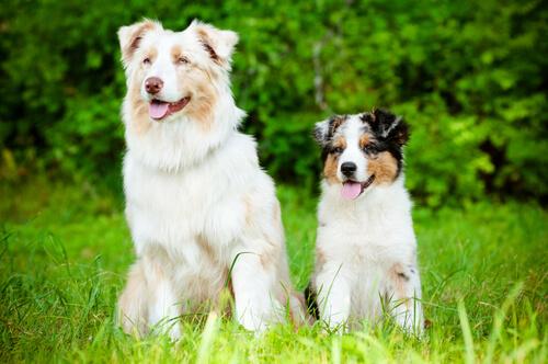 perros con alzheimer