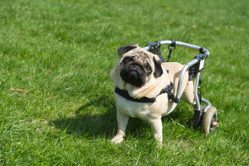 Cinco causas de parálisis en perros y gatos