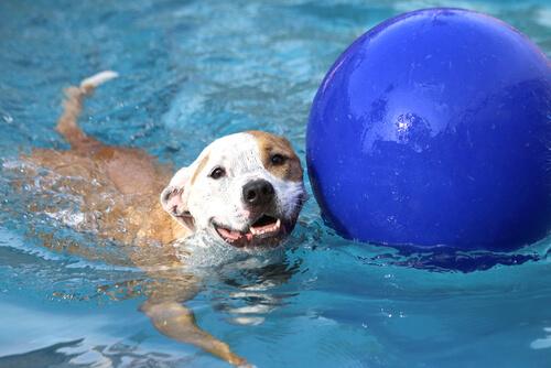 Perro con una pelota en la piscina