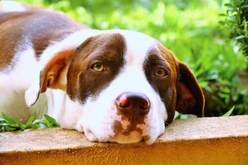 torsión del estómago en los perros