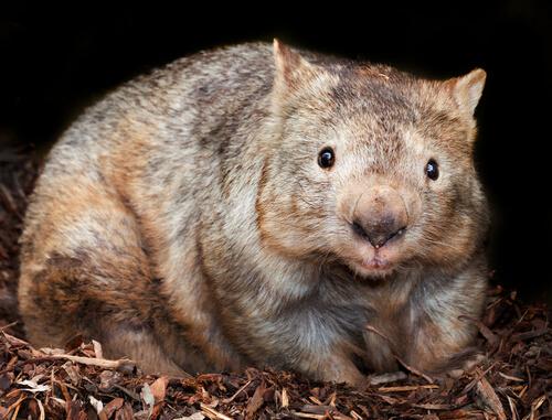 wombat australiano 2