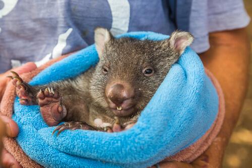 El wombat australiano muere de depresión tras estar varios días sin contacto con los turistas