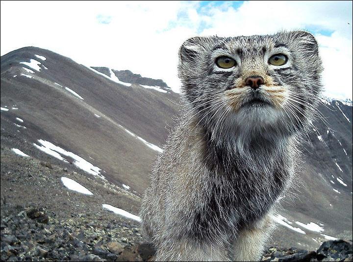 camara capto a un gato en peligro de extincion 2