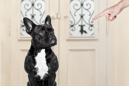 French Bulldog being pointed at: prevent behavioral issues.