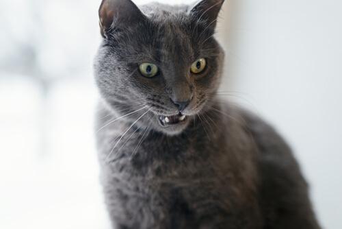 Cómo gestionar la ira de un gato