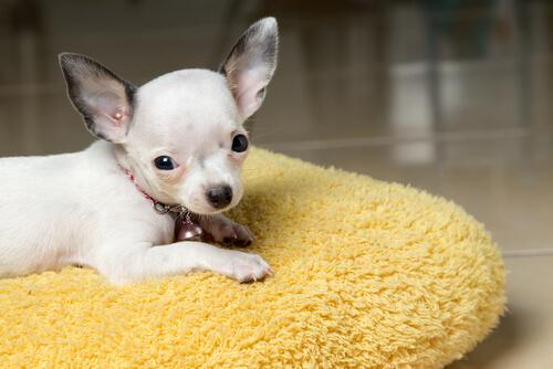 fiebre en los perros