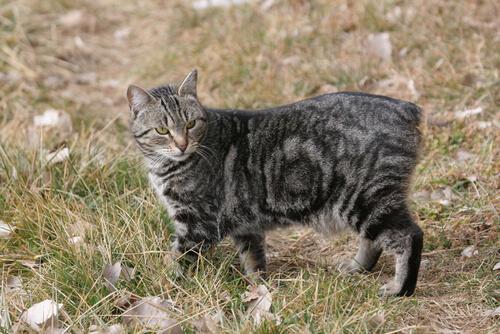 gato manx 2