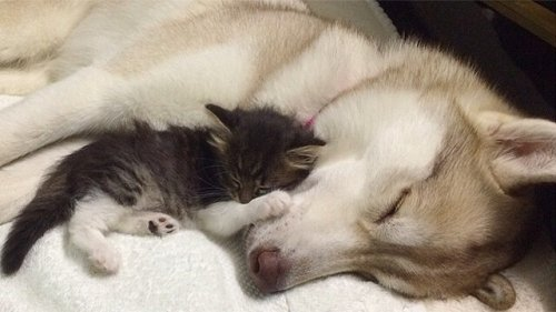 Lilo, la perra husky que adoptó una gatita