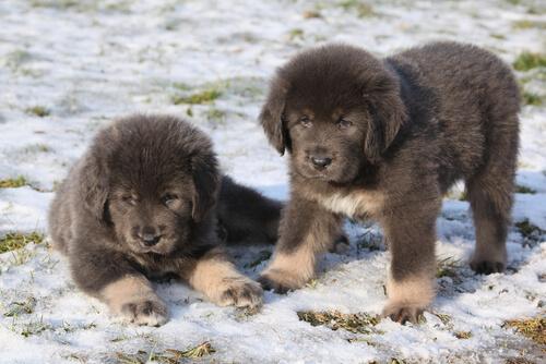Cachorros de mastin tibetano en la nieve
