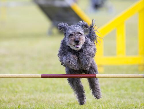 pumi, nueva raza de perro 2