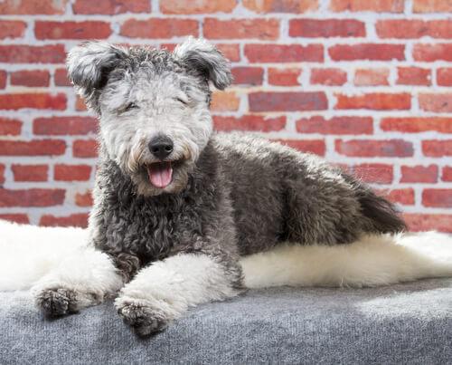 ¿Ya conoces esta nueva raza de perro?