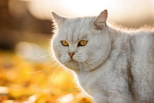 pelo do gato mais brilhante