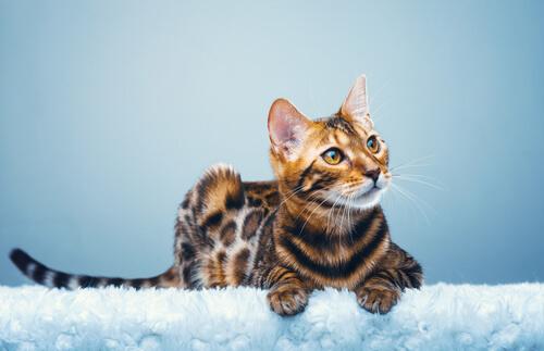 The Bengal cat has a striking dappled coat.