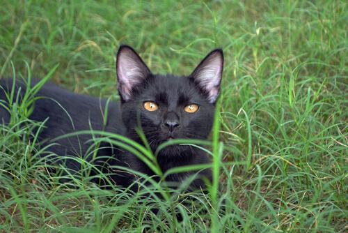 El gato bombay, una pantera en el hogar
