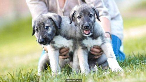 gemelos-identicos-de-perro-2